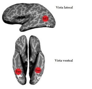 Representación del cerebro humano. En rojo se pueden observar la ubicación del área MT y del área de reconocimiento de caras del giro fusiforme.
