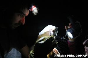 Sacando un H. montanus de la red de captura