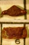 chinche fosil